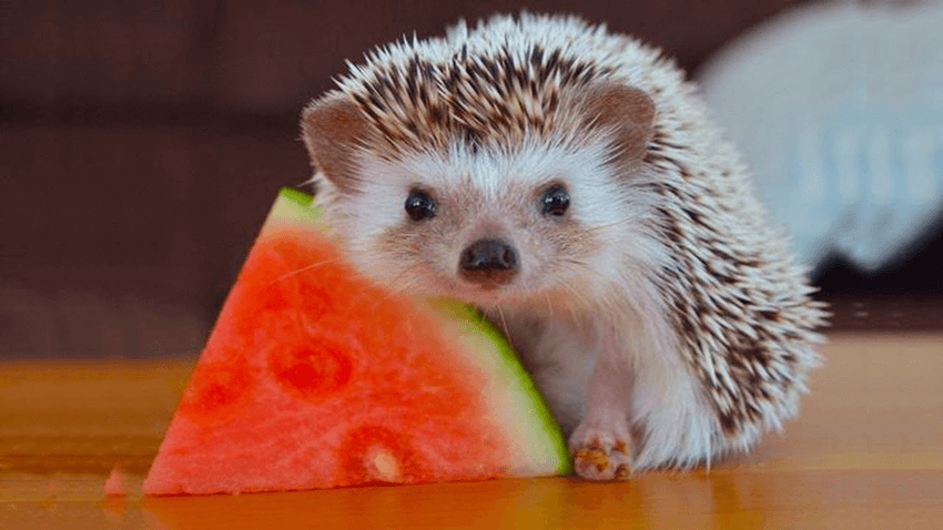 What do hedgehogs eat featured image
