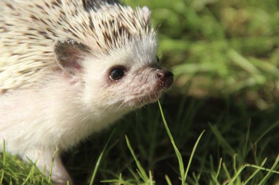 Hedgie looking for a hedgehog wheel to exercise
