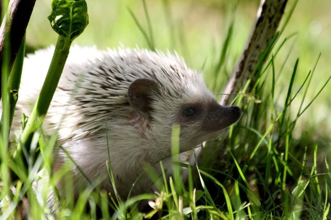 A hedgehog that got treated for mites
