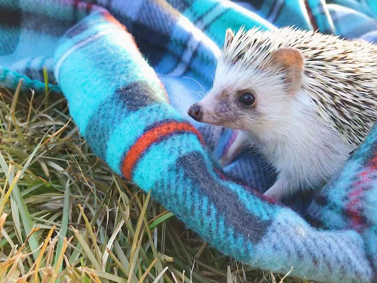 Where to buy a hedgehog on a blanket